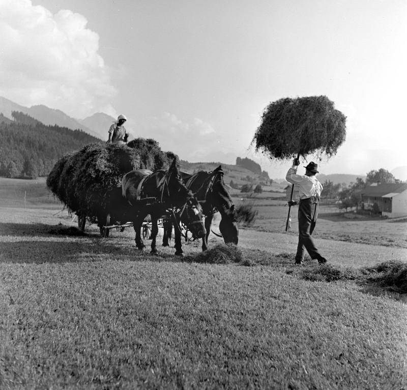 Heuernte mit Pferden, 1938
