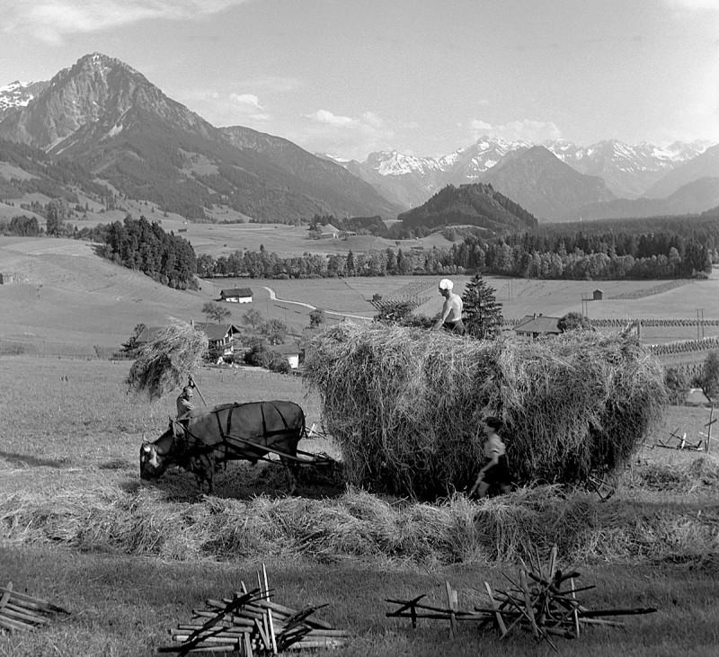 Heuernte mit Kuh, 1938